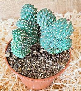 Opuntia Tunica, vaso Ø 10 cm - cactus - succulente piante grasse