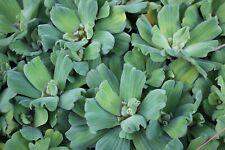 Water Lettuce 3 plants