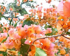 HAWAIIAN GOLD Bougainvillea orange-pink flowers climbing plant in 140mm pot