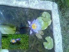 Blaue Seerose blühende Wasserpflanzen für den Teich Teichpflanzen Teichpflanze
