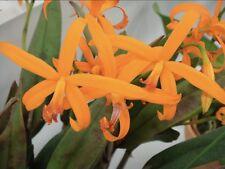 Cattleya cinnabarina Orange Flowers Long Stems Seedling Size