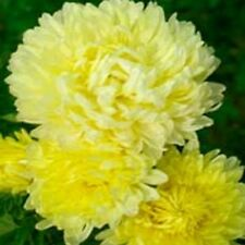 Aster - Peony Duchess- Yellow- 50 Seeds- Bogo 50% off Sale