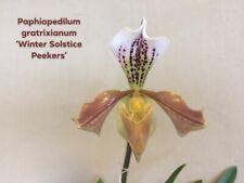 Paph Orchid Species Paphiopedilum gratrixianum Seedlings
