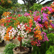 RARE 100 PCS Mix-color Bougainvillea Spectabilis Willd Bonsai Flower Seeds Deko