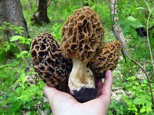 Seeds Mushroom Morel Conical Mycelium Spawn Grow Kit Dried Spores Organic