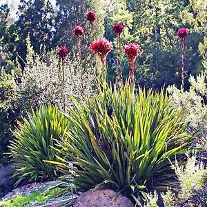 GYMEA LILY SEEDS DORYANTHES EXCELSA COMPACT FLOWERING 10 SEED PACK