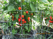 30x Fresh Organic Carolina Reaper Peppers Worlds Hottest Pepper Pods