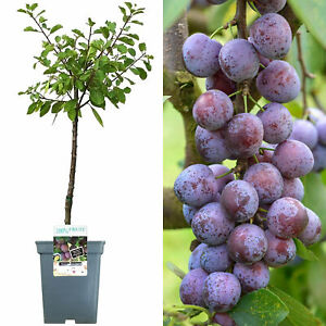 Patio Fruit Tree Collection | Various Fruits | Ideal for Small Gardens  | 2-3ft