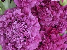 Purple Peony Poppy 125 Seeds Beautiful Large Purple Flowers for Your Garden