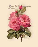 Pink Roses by Paul de Longpre (Art Print of Vintage Art)