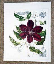Beautiful botanical limited edition signed print 'Clematis' by Ann Swan