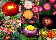 700+ Samen Helychrisum bracteatum - Strohblume Bunte Mischung