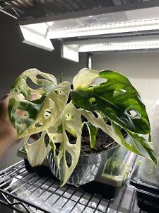 Monstera Adansonii Variegated Archipelago ( Albo ) 7 Leaf Plant, Well Rooted XL!