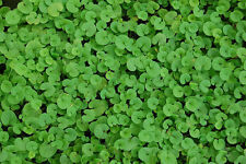 Kidney Weed Seeds, Ground Cover Seeds, Dichondra, Non-Gmo Heirloom Seeds 100ct