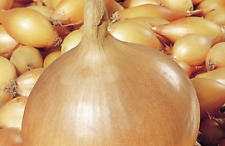"Ukrainian Organic Vegetable Onion Seeds ""Strigunovskiy"" Bulb onion - 250 Seeds."