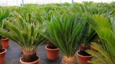 20Pcs Cycas Pot Plant Seeds Exotic 5 Kind Fresh Air In Home Perennial Bonsai