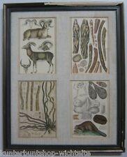 54x43,5cm Antik Bild Stich Tier Biber Gams Anatomie Radierung hinterglas Rahmen