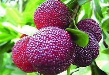 Israeli Myrica Rubra * Chinese Bay-Berry * Morella Rubra* Subtropical Rare Seeds