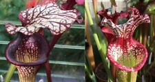 2019/GH/53 Sarracenia Carnivorous Plant Fresh Seeds UK Rare Cross