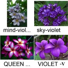 """""""MIXED 4 VIOLET"""" FRAGRANT PLUMERIA CUTTING 7-12"""" HAVE ROOTED WITH CERTIFICATED"""