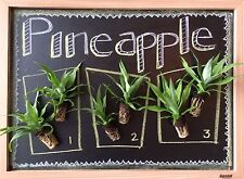 PINEAPPLE PLANT COLLECTION: White Jade, Sugarloaf, Florida Special