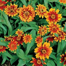 50+ZINNIA PERSIAN CARPET MIX SEEDS Butterflies Bees Heirloom LITTLE SEED STORE