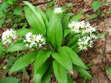 New listing Bear's onion Seeds Ramsons wild garlic wood garlic Ukraine 0.2g