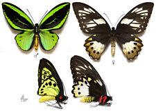 Ornithoptera priamus poseidon,A1,Unmounted butterfly