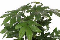 """Zimmer-Aralie """"Fatsia japonica"""" gibt in der Winterzeit alles und erblüht."""