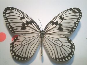 Real Dried Insect/Butterfly Non set B7394 Large Rare Danaus Idea durvillei theia
