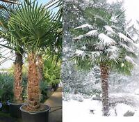 Hanfpalme Trachycarpus fortunei - Hanf Palme Samen 10 Stück / Pack - Palmensamen