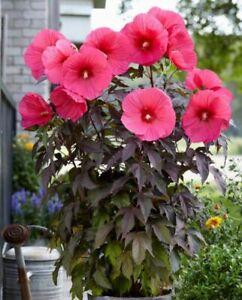 50 Hibiscus Moscheutos Flower Seeds Rare Big Beautiful Water Plants Decor Garden