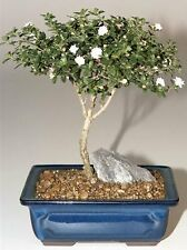 Snow Rose Serissa Bonsai Tree - Medium<br><i> (serissa foetida)</i>