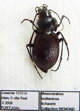 Carabus mesocarabus lusitanicus schaumi (female A1) from PORTUGAL (Carabidae)