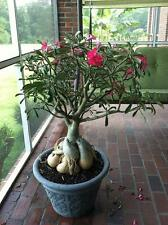 Desert Rose (Adenium obesum) - Well Rooted Succulent Plants - Caudex Bonsai