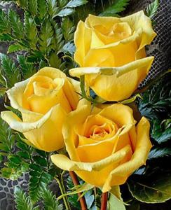 Rare Yellow Rose Bush 50++ Seeds -  Beautiful & Exotic perennial flowers !