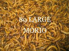 LIVE MORIO WORMS 80 LARGE for you're bearded dragon or Vivarium