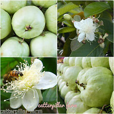 Tropical White Guava 50 Fresh Seeds,Free shipping, Rare Fruit Seeds