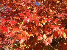 Red Maple (Acer rubrum) 25+ Guaranteed Viable Seeds