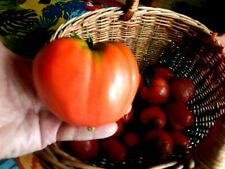 30 graines tomate ancienne coeur de boeuf veritable  jardin bio en bretagne :