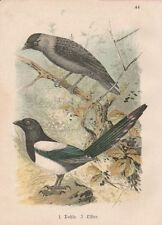 Elster Pica pica Dohle Corvus monedula Lithographie um 1900