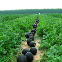 Glass Ball Watermelon Seeds Fruit Seed Delicious Green Yellow Watermelon Seeds