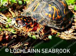 """Eastern Box Turtle"" 8 x 10 photographic print by Lochlainn Seabrook"