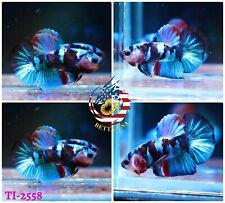 New listing [Ti-2558] Live Betta Fish High Quality Hmpk Male Black Blue Galaxy Koi