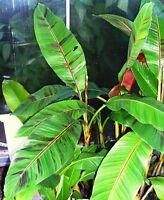 x Musa Sikkimensis Red Tiger winterharte Banane MS7MMN