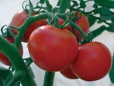 FARM RAISED ORGANIC HEIRLOOM MONEYMAKER TOMATO SEEDS DISEASE RESISTANT LOW S&H