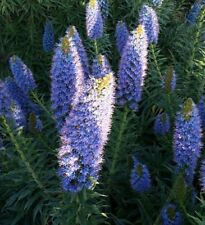 Echium vulgare - Hardy- Save the bees great for wildlife! upto 1m tall! Seeds