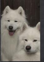 Animals Postcard - Modern Photo Postcard - Dogs - Samoyed G595