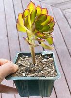 RARE Succulent Rooted Aeonium Succulent cactus plant