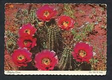 View of the Hedgehog Cactus in Bloom. Posted 1978 from USA.